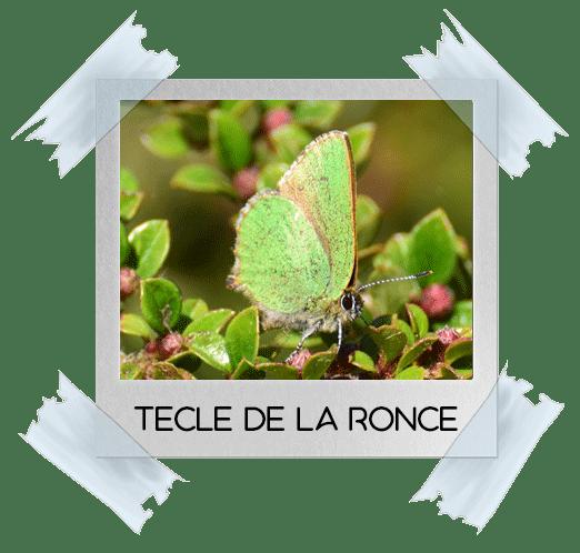 papillon tècle de la ronce