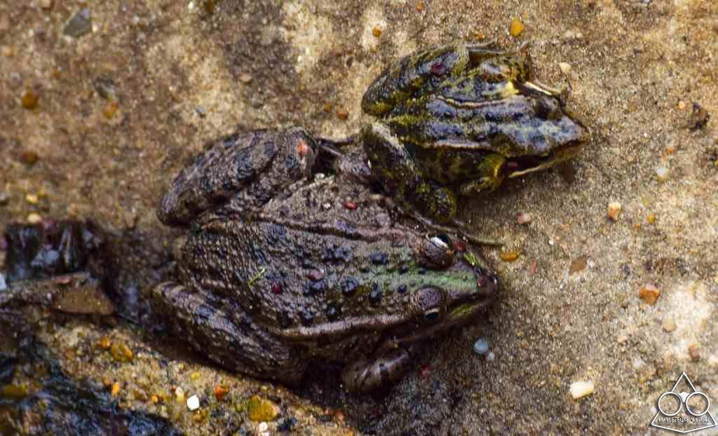 comparaison de taille entre le mâle et la femelle crapaud
