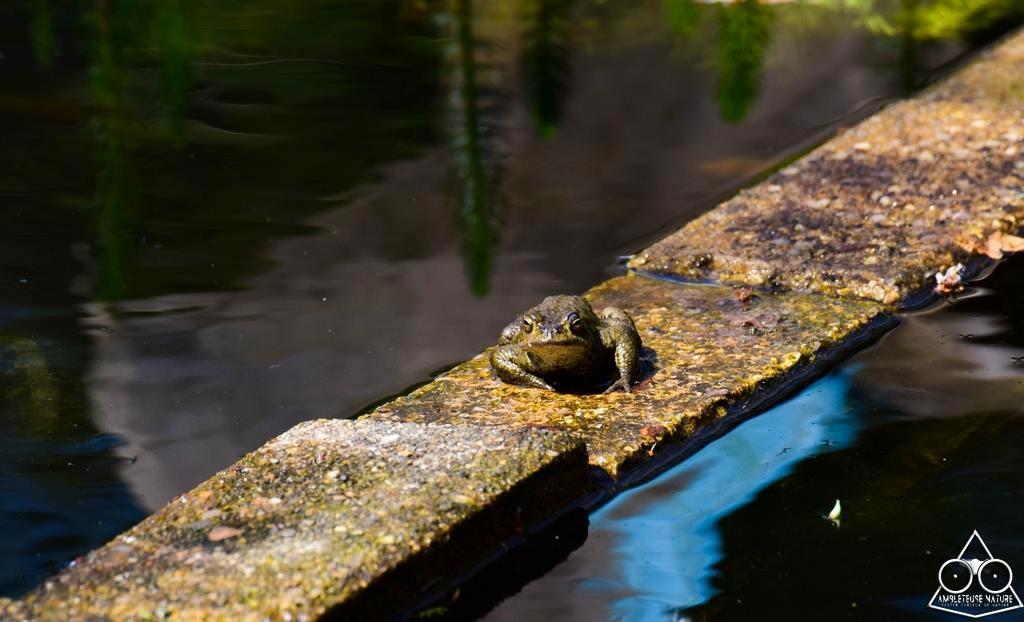 crapaud commun dans le bassin