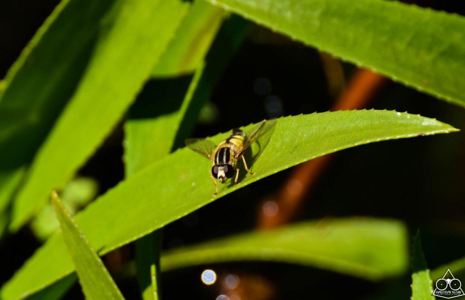 syrphe sur feuilles d'aloès