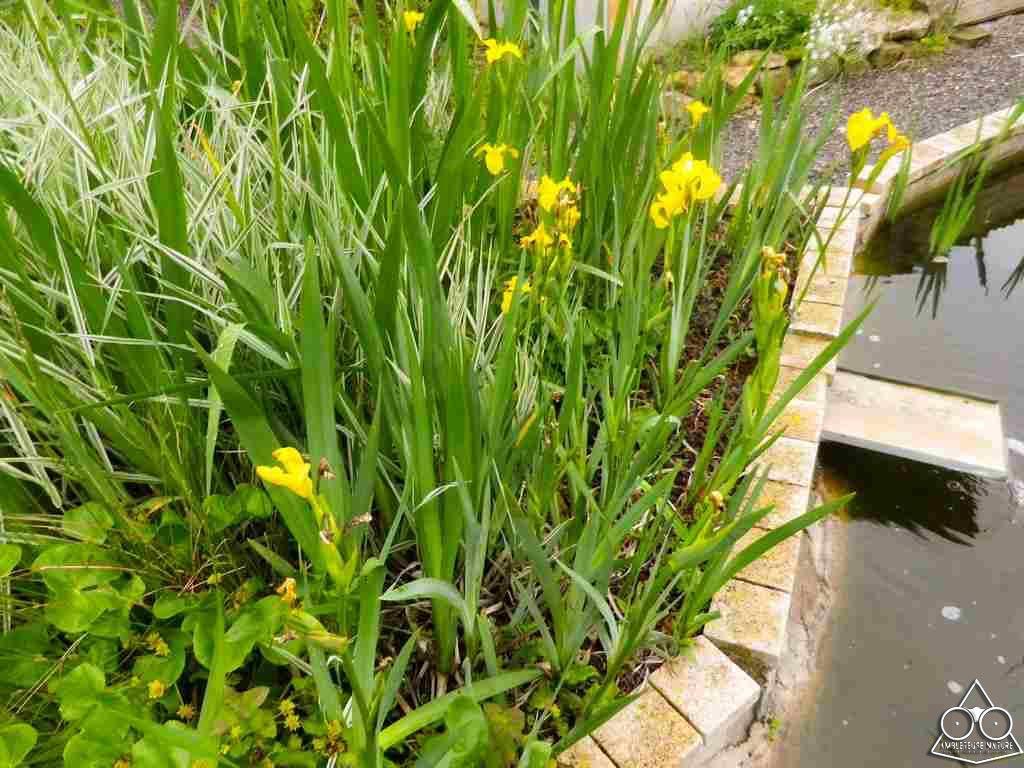 iris en lagunage de bassin